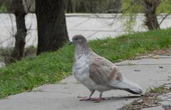 Pigeon on street - stock photo