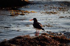 oystercatcher bird by sea shore in bright dawn sunlight - stock photo