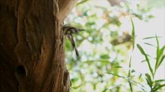 Hoopoe bird feeding its baby in nest Stock Footage