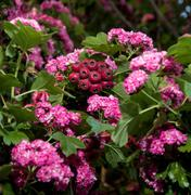 beauitful bloosoming pink flowers of hawthorn tree - stock photo