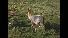 Vintage 16mm film, 1960, llamas in Peru Stock Footage