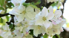 Close up of branches of blooming apple tree. nature background. spring day Stock Footage