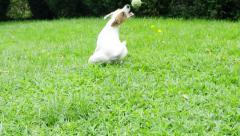 Jack Russell terrier slow motion Stock Footage