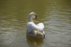 The white swan floating on a pond Stock Photos