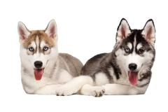 Two Siberian Husky Puppy isolated on White Stock Photos