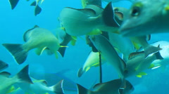 School of Tropical Fish GUAM, USA Stock Footage