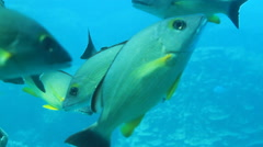 School of Tropical Fish off the Island of GUAM, USA- CIRCA February, 2011 Stock Footage