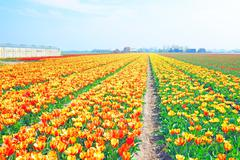 Stock Photo of Blossoming tulips in the countryside from the Netherlands