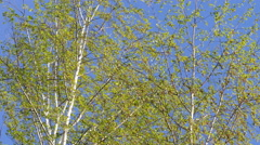 Birch branches in spring in the wind Stock Footage