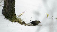 Small bird comes near a blackbird Stock Footage