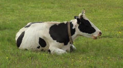 Chewing cow - stock footage