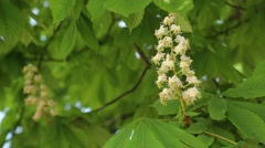 Chestnut flower Stock Footage