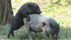 Small Pigs Sex Stock Footage
