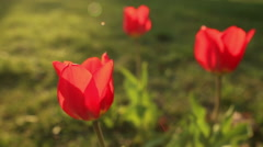 Beautiful tulips close up Stock Footage