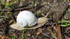 Macro beautiful white snail crawling in nature. Snail. Stock Footage
