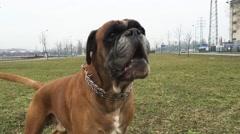 Boxer dog barking Arkistovideo