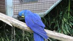 Hyacinth Macaw Stock Footage
