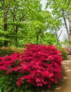 Azeleas in Spring Stock Photos