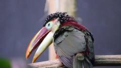 Curl-crested aracari (Toucan) Stock Footage
