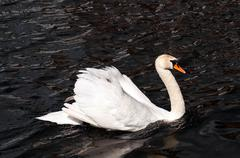 Swan on the River Avon - stock photo