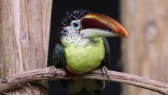 The curly-crested aracari (Pteroglossus beauharnaesii) Stock Footage