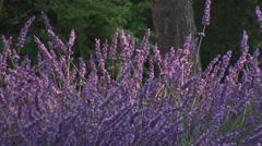 fields of lavender france - stock footage