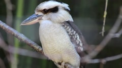 Laughing kookaburra Stock Footage