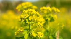 Canola oilseed rape flower close up Stock Footage