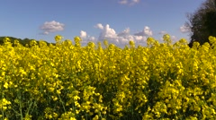 Rapeseed field in blossom Stock Footage