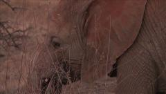 Young African elephant eating in the bush Stock Footage