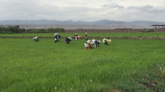 Hispanic Workers in Rice Paddy, Traditional Hands On Work Stock Footage