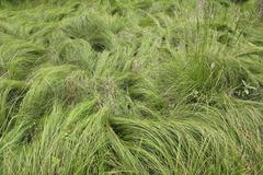 Silky Grass - stock photo