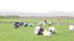 Rice Farmers Working  Paddy Field, Traditional Planting, Weeding and Harvesting Stock Footage