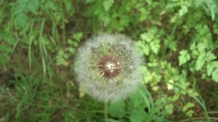 Close up of a dandelion (plant). - stock footage