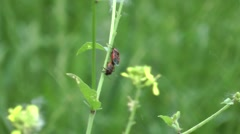 Black and red insects pair mating. Stock Footage