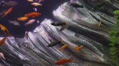 Freshwater fish tank - stock footage