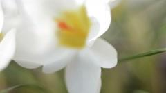 White Crocus Flower Macro Stock Footage