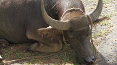 Carabao rests in the Sun on the Island of GUAM, USA Stock Footage