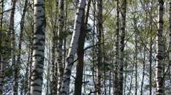 Birchwood day in May in Russia in 2015 UHD Stock Footage