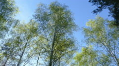 Birchwood upper part of the day in May in Russia in 2015 Stock Footage