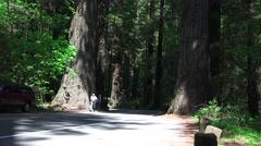 California Coastal Redwoods, man walking Stock Footage