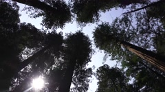 California Coastal Redwoods, rotating tree crowns Stock Footage