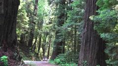 California Coastal Redwoods, pan, car driving Stock Footage