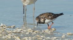 4K Ruddy Turnstone (Arenaria interpres) Feeding 1 Stock Footage