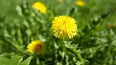 Dandelions blowing in a slight breeze Stock Footage