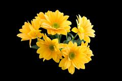 Bunch of Yellow Gerber Daisy's - stock photo