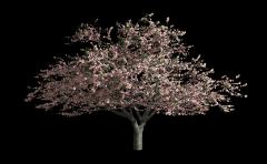 Cherry blossoms blowing in wind, isolated on a black with alpha mask Stock Footage
