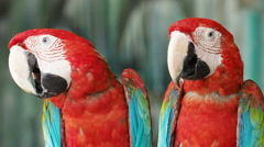 Two Red and Green Macaws Perching. Stock Footage