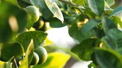 Camera panning, Lemon on tree branch. Stock Footage