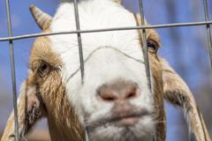 Sad Goat - stock photo